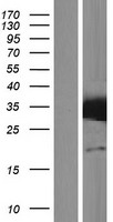 STX17 / Syntaxin 17 Protein - Western validation with an anti-DDK antibody * L: Control HEK293 lysate R: Over-expression lysate