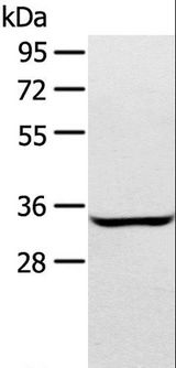 STX2 / Syntaxin 2 Antibody - Western blot analysis of A172 cell, using STX2 Polyclonal Antibody at dilution of 1:400.