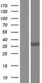 STX2 / Syntaxin 2 Protein - Western validation with an anti-DDK antibody * L: Control HEK293 lysate R: Over-expression lysate