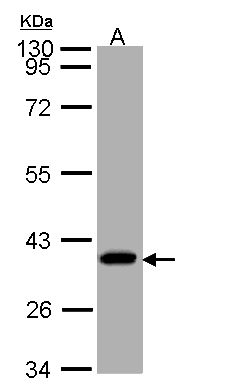 Sample (30 ug of whole cell lysate). A: A431. 10% SDS PAGE. SUCLG1 / GALPHA antibody diluted at 1:1000