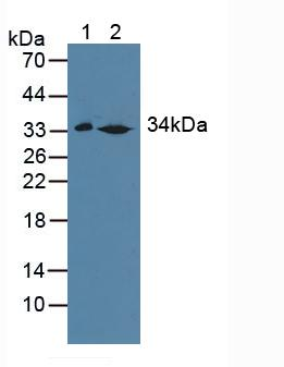 Western Blot; Sample: Lane1: Mouse Liver Tissue; Lane2: Rat Liver Tissue.