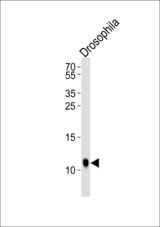 Western blot of lysate from Drosophila tissue lysate, using SUMO Antibody (V52) (Drosophila). Antibody was diluted at 1:1000. A goat anti-rabbit IgG H&L (HRP) at 1:10000 dilution was used as the secondary antibody. Lysate at 35ug.