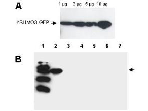 Anti-Human SUMO-3 Antibody - Western Blot. Western blot analysis is shown using Affinity Purified anti-Human SUMO-3 antibody to detect GFP-SUMO fusion proteins (arrowheads). Panel A. Increasing concentrations of human GFP-SUMO-3 were run on a SDS-PAGE, transferred onto nitrocellulose, and blocked for 1 hour with 5% non-fat dry milk in TTBS, and probed overnight at 4°C with a 1:1000 dilution of anti-hSUMO-3 antibody in 5% non-fat dry milk in TTBS. Detection occurred using a 1:1000 dilution of HRP-labeled Donkey anti-Rabbit IgG for 1 hour at room temperature. A chemiluminescence system was used for signal detection (Roche). Panel B. Specificity of the antibody was confirmed by SDS-PAGE of 5 ug of various GFP-SUMO constructs followed by transfer onto nitrocellulose. Lanes: 1. MW marker, 2. GFP-human SUMO-3, 3. GFP-human SUMO-1, 4. GFP-yeast SUMO, 5. GFP-Arabidopsis thaliana, SUMO-1, 6. GFP- Arabidopsis thaliana SUMO-2, 7. GFP-tomato SUMO. After blocking for 1 hour with 5% non-fat dry milk in TTBS, the blot was probed overnight at 4°C with anti-hSUMO-3 antibody diluted and detected as above. Only the human GFP-SUMO-3 band was visualized by chemiluminescence, and no cross-reactivity with other SUMO family members was observed.