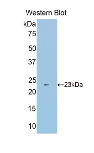 Western blot of recombinant Sulfite Oxidase / SUOX.  This image was taken for the unconjugated form of this product. Other forms have not been tested.