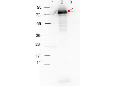 Surface Lipoprotein p27 Antibody - Western blot showing detection of 0.1 µg of recombinant p27 protein. Lane 1: Molecular weight markers. Lane 2: MBP-p27 fusion protein (arrow; expected MW: 73.3 kDa). Lane 3: MBP alone. Protein was run on a 4-20% gel, then transferred to 0.45 µm nitrocellulose. After blocking with 1% BSA-TTBS overnight at 4°C, primary antibody was used at 1:1000 at room temperature for 30 min. HRP-conjugated Goat-Anti-Rabbit secondary antibody was used at 1:40,000 in MB-070 blocking buffer and imaged on the VersaDoc MP 4000 imaging system (Bio-Rad).