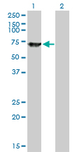 SWAP70 Antibody - Western blot of SWAP70 expression in transfected 293T cell line by SWAP70 monoclonal antibody (M09), clone 3H8.
