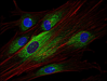 Immunofluorescence staining of Syk in human primary fibroblasts using anti-Syk (SYK-01; green). Actin cytoskeleton was decorated by phalloidin (red) and cell nuclei stained with DAPI (blue).