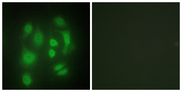 Immunofluorescence analysis of HepG2 cells, using hnRNP Q Antibody. The picture on the right is blocked with the synthesized peptide.