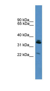 SYNPR antibody LS-C135528 Western blot of Mouse Lung lysate.  This image was taken for the unconjugated form of this product. Other forms have not been tested.