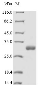 Miraculin Protein - (Tris-Glycine gel) Discontinuous SDS-PAGE (reduced) with 5% enrichment gel and 15% separation gel.