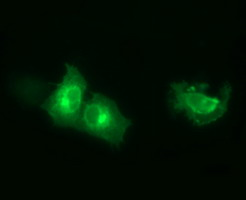 SYT4 Antibody - Anti-SYT4 mouse monoclonal antibody immunofluorescent staining of COS7 cells transiently transfected by pCMV6-ENTRY SYT4.