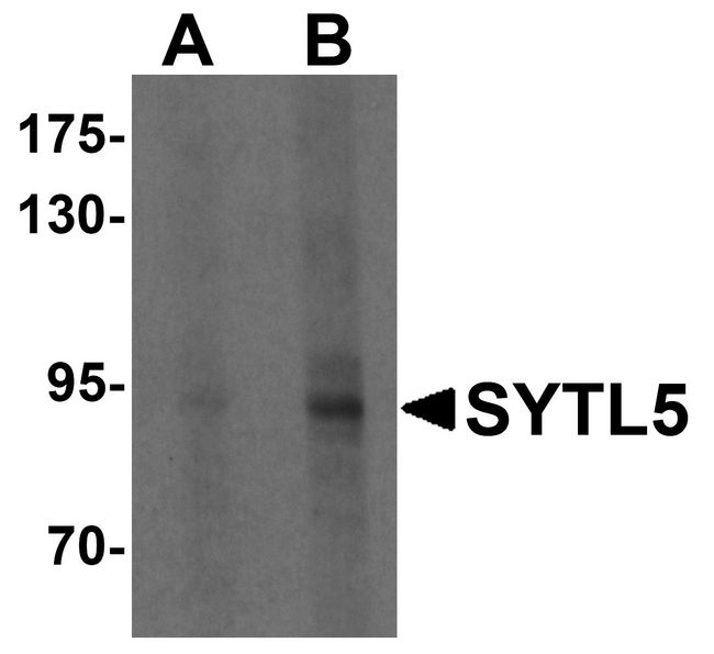 SYTL5 Antibody - Western blot analysis of SYTL5 in HeLa cell lysate with SYTL5 antibody at (A) 1 and (B) 2 ug/ml .