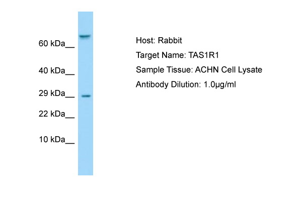 T1R1 / TAS1R1 Antibody -  This image was taken for the unconjugated form of this product. Other forms have not been tested.