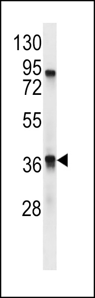 TAAR9 Antibody western blot of mouse stomach tissue lysates (35 ug/lane). The TAAR9 antibody detected the TAAR9 protein (arrow).