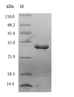 Limulus clotting factor C Protein - (Tris-Glycine gel) Discontinuous SDS-PAGE (reduced) with 5% enrichment gel and 15% separation gel.