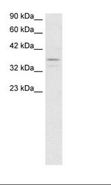 TAF7 Antibody - Jurkat Cell Lysate.  This image was taken for the unconjugated form of this product. Other forms have not been tested.