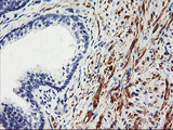 IHC of paraffin-embedded Human prostate tissue using anti-TAL1 mouse monoclonal antibody.