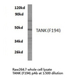 Western blot of TANK (F194) pAb in extracts from raw264.7 cells.