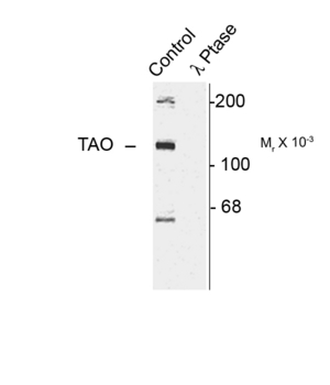 TAOK2 / TAO2 Antibody - Western blot of rat cortex lysate showing specific immunolabeling of the ~120k TAO2 phosphorylated at Ser181 (Control). The phosphospecificity of this labeling is shown in the second lane (lambda-phosphatase: l-Ptase). The blot is identical to the control except that it was incubated in l-Ptase (1200 units for 30 min) before being exposed to the Anti-Ser181 TAO2. The immunolabeling is completely eliminated by treatment with l-Ptase.