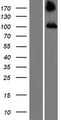 TBC1D2 Protein - Western validation with an anti-DDK antibody * L: Control HEK293 lysate R: Over-expression lysate