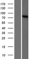 TBC1D23 Protein - Western validation with an anti-DDK antibody * L: Control HEK293 lysate R: Over-expression lysate