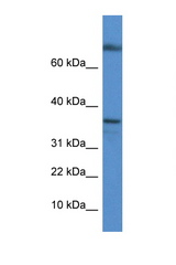TCEA1 antibody Western blot of Mouse Kidney lysate. Antibody concentration 1 ug/ml. This image was taken for the unconjugated form of this product. Other forms have not been tested.