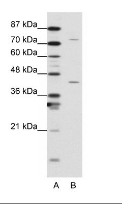 A: Marker, B: K562 Cell Lysate.  This image was taken for the unconjugated form of this product. Other forms have not been tested.