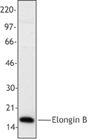 TCEB2 / Elongin B Antibody - Hela cell nuclear extracts were resolved by electrophoresis, transferred to nitrocellulose and probed with monoclonal anti-elongin B (clone 10C4).