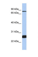 NFE2L1 antibody Western blot of 1 Cell lysate. Antibody concentration 1 ug/ml.  This image was taken for the unconjugated form of this product. Other forms have not been tested.