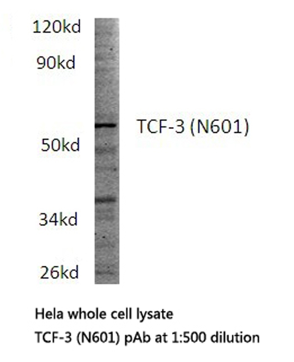 Western blot of TCF-3 (N601) pAb in extracts from HeLa cells.