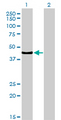 Western blot of TCF7 expression in transfected 293T cell line by TCF7 monoclonal antibody (M01), clone 1D2.