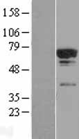 TCP11L2 Protein - Western validation with an anti-DDK antibody * L: Control HEK293 lysate R: Over-expression lysate
