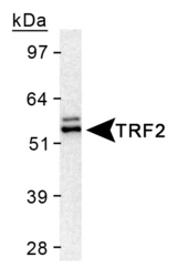 TERF2 / TRF2 Antibody - Detection of TRF2 in HeLa nuclear extract using Rabbit Polyclonal anti-TRF2.  This image was taken for the unconjugated form of this product. Other forms have not been tested.