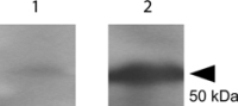 Tetanus Toxin Fragment C Antibody - Western blot using the Anti-tetanus toxin C antibody shows detection of a protein band at 52 kDa corresponding to full length 6X HIS-TTFC fusion protein (arrowhead). Lane 1 shows no detection from non-specific antisera; Lane 2 shows detection of anti-TTFC. After blocking in 1% BSA, the membrane was probed with the primary antisera diluted to 1:1,000 in PBS followed by reaction with HRP conjugated Goat anti-Rabbit at 1:20,000 dilution.