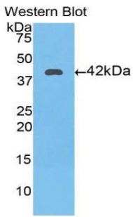 Western blot of recombinant TF / Transferrin.  This image was taken for the unconjugated form of this product. Other forms have not been tested.