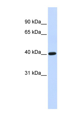 TFB1M antibody LS-C109926 Western blot of Fetal liver lysate.  This image was taken for the unconjugated form of this product. Other forms have not been tested.