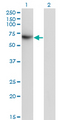 Western Blot analysis of TFCP2 expression in transfected 293T cell line by TFCP2 monoclonal antibody (M01), clone 3H6.Lane 1: TFCP2 transfected lysate(57.3 KDa).Lane 2: Non-transfected lysate.
