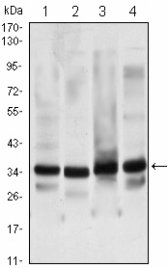 Western blot of GTF2B mouse mAb against HeLa (1), NIH/3T3 (2), COS7 (3) and A431 (4) cell lysate.