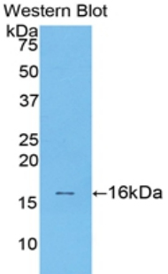 TGFB1 / TGF Beta 1 Antibody - Western blot of recombinant TGFB1 / TGF Beta 1.  This image was taken for the unconjugated form of this product. Other forms have not been tested.