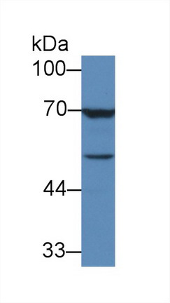 Western Blot; Sample: Human MCF7 cell lysate; Primary Ab: 3µg/ml Mouse Anti-Human TGFb3 Antibody Second Ab: 0.2µg/mL HRP-Linked Caprine Anti-Mouse IgG Polyclonal Antibody