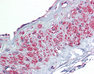 Anti-TGFBI antibody IHC of human vessel. Immunohistochemistry of formalin-fixed, paraffin-embedded tissue after heat-induced antigen retrieval. Antibody concentration 2.5 ug/ml.  This image was taken for the unconjugated form of this product. Other forms have not been tested.