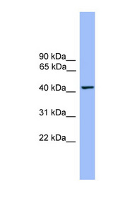 THEG Antibody - THEG antibody Western blot of Fetal Heart lysate. This image was taken for the unconjugated form of this product. Other forms have not been tested.