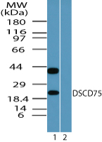 Western blot of DSCD75 in human skeletal muscle lysate in the 1) absence and 2) presence of immunizing peptide using Peptide-affinity Purified Polyclonal Antibody to Mesenchymal stem cell protein DSCD75 at 0.1 ug/ml.