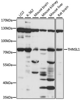 THNSL1 Antibody - Western blot analysis of extracts of various cell lines, using THNSL1 antibody at 1:1000 dilution. The secondary antibody used was an HRP Goat Anti-Rabbit IgG (H+L) at 1:10000 dilution. Lysates were loaded 25ug per lane and 3% nonfat dry milk in TBST was used for blocking. An ECL Kit was used for detection and the exposure time was 30s.