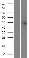 THNSL2 Protein - Western validation with an anti-DDK antibody * L: Control HEK293 lysate R: Over-expression lysate