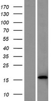 TIFAB Protein - Western validation with an anti-DDK antibody * L: Control HEK293 lysate R: Over-expression lysate