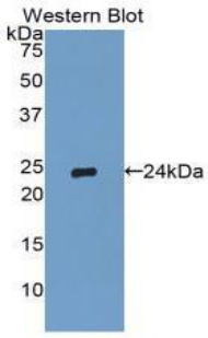 TIMP2 Antibody - Western blot of recombinant TIMP2.  This image was taken for the unconjugated form of this product. Other forms have not been tested.