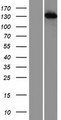 TIP120 / CAND1 Protein - Western validation with an anti-DDK antibody * L: Control HEK293 lysate R: Over-expression lysate