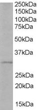 Antibody (1 ug/ml) staining of Human Liver lysate (35 ug protein in RIPA buffer). Primary incubation was 1 hour. Detected by chemiluminescence.
