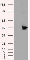 HEK293T cells were transfected with the pCMV6-ENTRY control (Left lane) or pCMV6-ENTRY KIAA1609 (Right lane) cDNA for 48 hrs and lysed. Equivalent amounts of cell lysates (5 ug per lane) were separated by SDS-PAGE and immunoblotted with anti-KIAA1609.